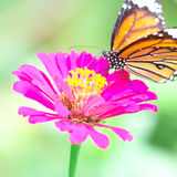 Butterfly with flower. Butterfly find sweet water with violet flower Royalty Free Stock Photo