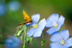 Butterfly on a flower flax Royalty Free Stock Photos