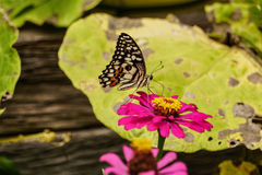 Butterfly on flower in garden. Butterfly on flower in garden royalty free stock photo