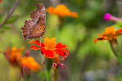 Butterfly and flower. Royalty Free Stock Photography