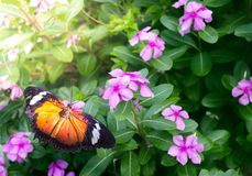 Butterfly on Flower Garden During Summer at Butterfly Park. Butterfly feeding on flower nectar stock photography