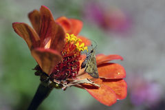 Butterfly on flower. A butterfly gathering pollen on a colorful flower (Zinnia royalty free stock photography
