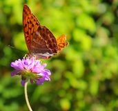 Butterfly on flower in Germany. Orange and black butterfly feeding on a purple flower in summer in Germany stock images
