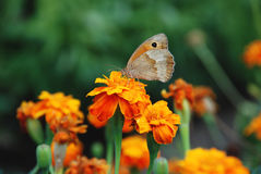 Butterfly on a flower on a green background Stock Image