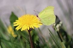 Butterfly and Flower. A green butterfly on a yellow dandelion flower with a grey and green background stock image