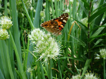 Butterfly on flower of the green onion Stock Photo
