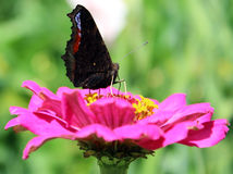 Butterfly on a flower. Flower grown in the country. Beautiful pink flower. Located in a clearing lit sunlight. Flower has lots of rose petals. Butterfly sitting royalty free stock images