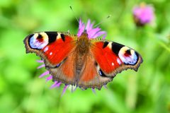 Butterfly flower, flower of happiness, flower of love, clock plant, clover of happiness, Madame butterfly. The flower of happiness does not like extremes royalty free stock images
