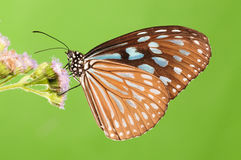 BUTTERFLY ON FLOWER, Ideopsis similis. Having rest. Brown wings with white spots Stock Photography