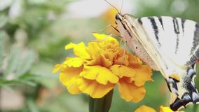 Butterfly on a flower. The insect collects and drinks nectar honey from the yellow flower head. Butterfly on a flower. The insect collects and drinks nectar stock video footage