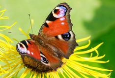 Butterfly on a flower inula Stock Photo