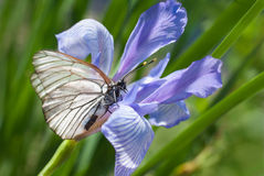 A butterfly on a flower Iris Royalty Free Stock Photography