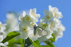 Butterfly on  flower jasmine Royalty Free Stock Photography
