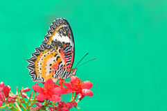 Butterfly flower (Leopard Lacewing) Stock Image