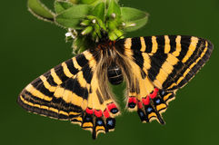 Butterfly on flower/ Luehdorfia chinensis/ female royalty free stock image