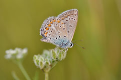 Butterfly on a flower. Macro detail of Large Blue butterfly on a flower stock photos