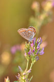 Butterfly on a flower. Macro detail of Large Blue butterfly on a flower royalty free stock images