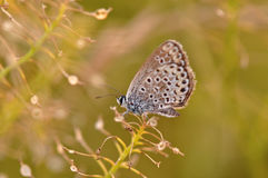 Butterfly on a flower. Macro detail of Large Blue butterfly on a flower royalty free stock photo