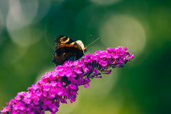 Butterfly on the flower macro Royalty Free Stock Images