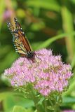 Butterfly on FLower. Monarch butterfly landed on a flower searching for nectar stock photography