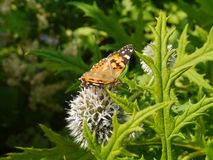 A butterfly on a flower. A monarch butterfly danaus chrisippus on a great globe thistle echinops spheerosphalus or pale globe-thistle royalty free stock photo