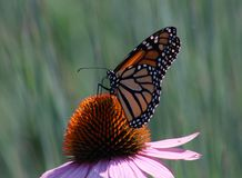 Butterfly on a flower. Monarch butterfly feeding on a echinacea flower royalty free stock photos