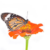 Butterfly on a flower Stock Photography