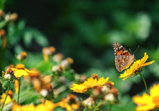 Butterfly on a flower Royalty Free Stock Photography
