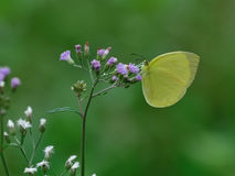 Butterfly and flower in nature Royalty Free Stock Photos