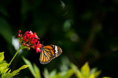 Butterfly and flower. One butterfly and pind flower Stock Photos