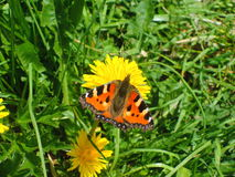 Butterfly on a flower. Orange and black butterfly on a yellow flower with grass on the background Stock Photography