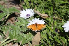 Butterfly and flower. An orange butterfly on a white flower, garden, butterflies, flowers, monarch, green, plants, insect, insytycd, insects, pretty, beautiful stock images
