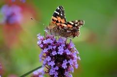 Butterfly on flower. Orange butterfly on a purple flower royalty free stock images