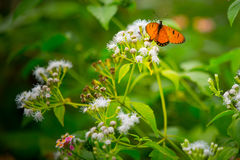 Butterfly on flower. Orange butterfly on white flower Stock Photography