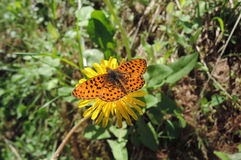 Butterfly on a flower. Orange butterfly on a yellow flower with grass on the background Royalty Free Stock Image