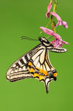 Butterfly on the flower,Papilio xuthus Stock Photo