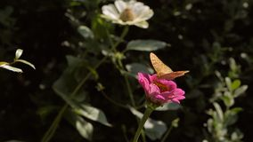 Butterfly on a flower in the Park drinking nectar. The insect in the natural environment stock footage
