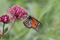 Butterfly and flower. Photo of a beautiful monarch butterfly on a pink flower stock photography