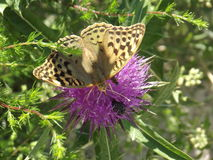 Butterfly on a flower. The photo represents a butterfly on a thistle flower Royalty Free Stock Images