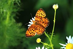 Butterfly on a flower. Photographed in the wild Stock Images