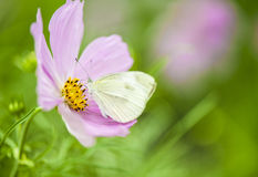 Butterfly and flower. Pink flower, white butterfly, green grass in Shenzhen University in Summer Royalty Free Stock Images