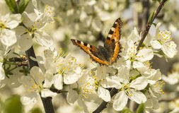 Butterfly on flower plum tree. Bright butterfly on white petal of the flower plum tree Stock Image