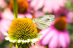 Butterfly on a Flower Pollen. Royalty Free Stock Image