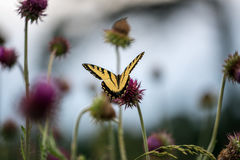 Butterfly on a Flower. Butterfly Pollinates a Flower royalty free stock image