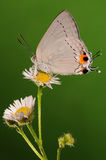 BUTTERFLY ON FLOWER,  Pratapa deva Stock Photos