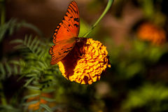 Butterfly in flower Stock Images
