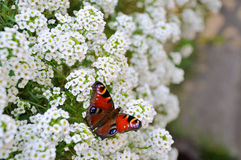 Butterfly on a flower. Red butterfly on white flower bushes stock images