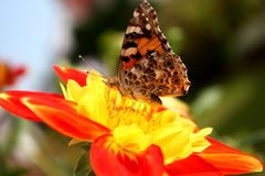 Butterfly on a flower. Butterfly on a red and yellow flower Stock Photography