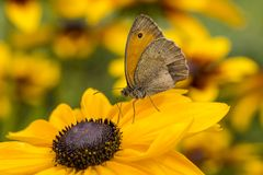 The butterfly on flower of rudbeckia Stock Photography