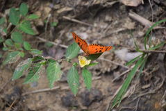 Butterfly. On a flower - Saint Martin Stock Images